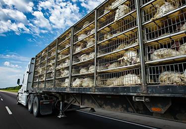 Un camion dont la remorque transporte des dindes vivantes dans des cages.