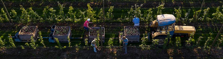 Des agriculteurs cueillent des pommes dans un verger.